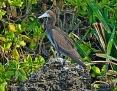 Booby_Brown_2014-08-30