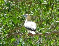 Booby_Redfooted_2007-11-25_2