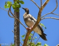 Booby_Redfooted_2007-11-25_3