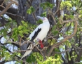 Booby_Redfooted_2009-11-25_1