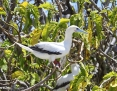 Booby_Redfooted_2009-11-25_2