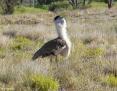 Bustard_Australian_2008-08-19