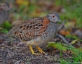Buttonquail_Painted_2014-03-22