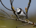 Chat_Whitefronted_2013-11-10