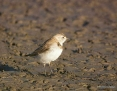 Chat_Whitefronted_2014-01-19