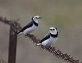 Chat_Whitefronted_2016-04-12_1