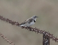 Chat_Whitefronted_2016-04-12_2