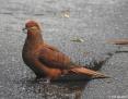 Cuckoo-Dove_Brown_2016-09-01