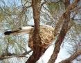 Cuckooshrike_Ground_2010-04-04