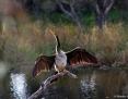 Darter_Australasian_2013-02-17