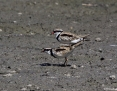 Dotterel_Blackfronted_2014-12-28_1