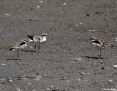 Dotterel_Blackfronted_2014-12-28_5