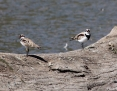 Dotterel_Blackfronted_2016-02-01_1