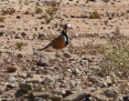 Dotterel_Inland_2010-04-06