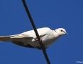 Dove_Barbary_2014-02-09