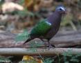Dove_Common_Emerald_2007-11-27
