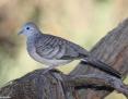 Dove_Peaceful_2010-03-23