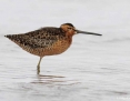 Dowitcher_Longbilled_2014-11-21_1
