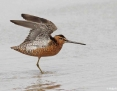Dowitcher_Longbilled_2014-11-21_2