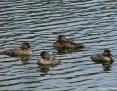 Duck_Bluebilled_2011-02-09