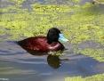 Duck_Bluebilled_2016-11-30_1