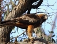 Eagle_Little_2012-09-15