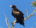Eagle_Wedgetailed_2015-08-19