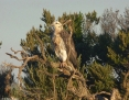 Eagle_Whitebellied_Sea_2011-04-17