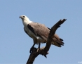 Eagle_Whitebellied_Sea_2011-07-18