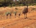 Emu_2011-08-17