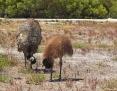 Emu_2012-11-02