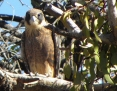 Falcon_Brown_2011-11-27