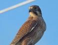 Falcon_Brown_2013-05-26