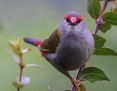 Finch_RedBrowed_2016-12-31