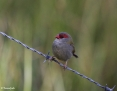 Finch_Redbrowed_2013-08-21