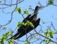 Frigatebird_Great_2007-11-25_1