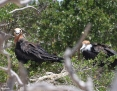 Frigatebird_Great_2009-11-25_1