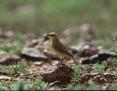 Gibberbird_2002-07