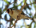 Goldfinch_European_2012-12-25