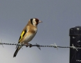 Goldfinch_European_2013-04-25
