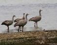 Goose_Cape_Barren_2004-12-10