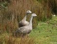 Goose_Cape_Barren_2012-11-07