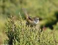 Grassbird_Little_2008-04-10