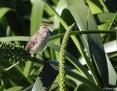 Grassbird_Little_2013-09-22_2