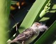 Grassbird_Little_2013-09-22_3