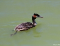 Grebe_Great_Crested_2012-12-21_2