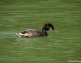 Grebe_Great_Crested_2012-12-21_3