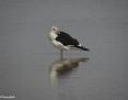 Gull_Kelp_2009-04-28