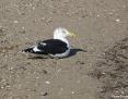 Gull_Kelp_2009-06-09_1