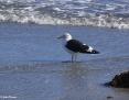 Gull_Kelp_2009-06-09_2